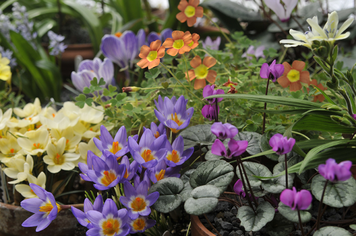 Growing with plants A Winter Garden of Bulbs in Pots – Plants for Winter Garden