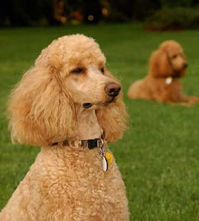 Choosing Best Dogs For Kids Information standard poodle
