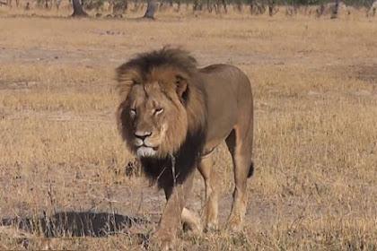Singa Paling Terkenal di Zimbabwe Tewas Mengenaskan