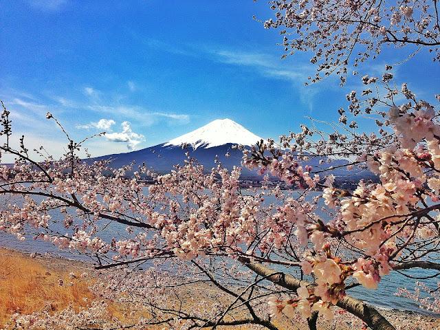 Flores de cerezo frente al Monte Fuji de Japón.