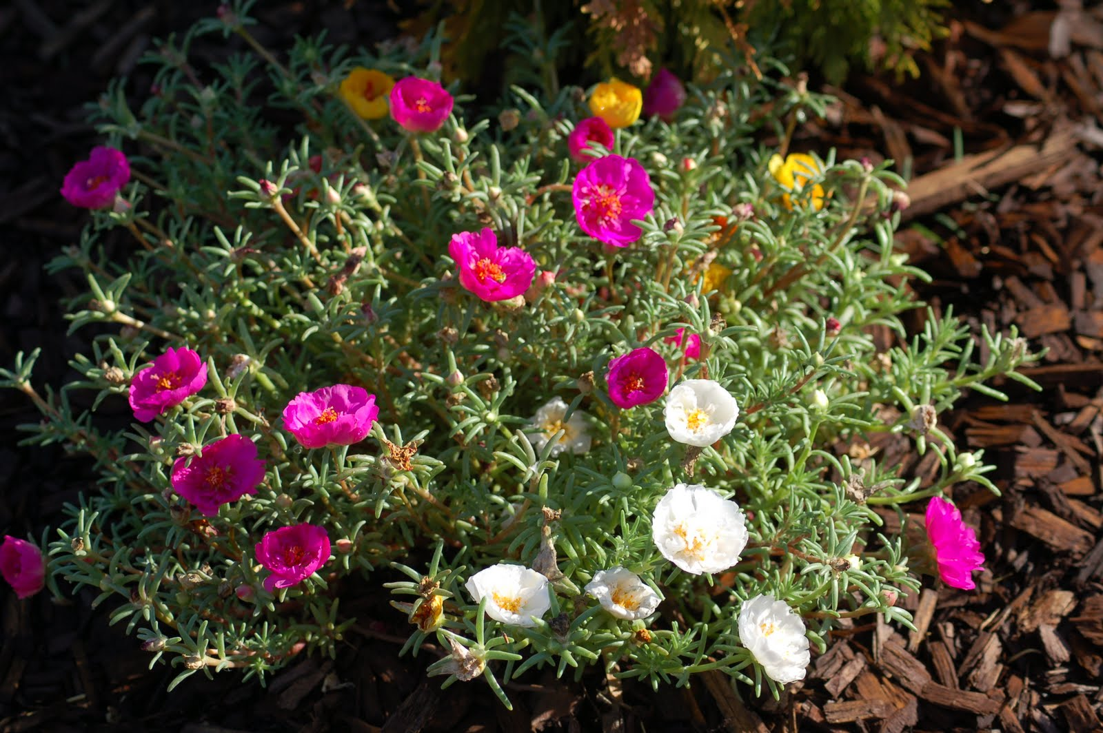 Offering:Rose Moss or Moss Rose
