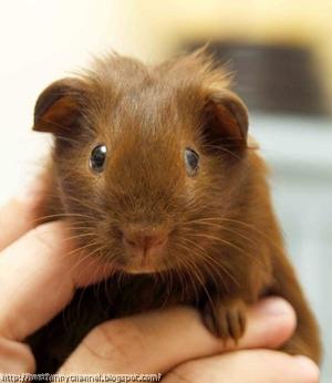Cute guinea pig.