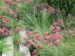 hierba callera, telefio o hierba de los callos