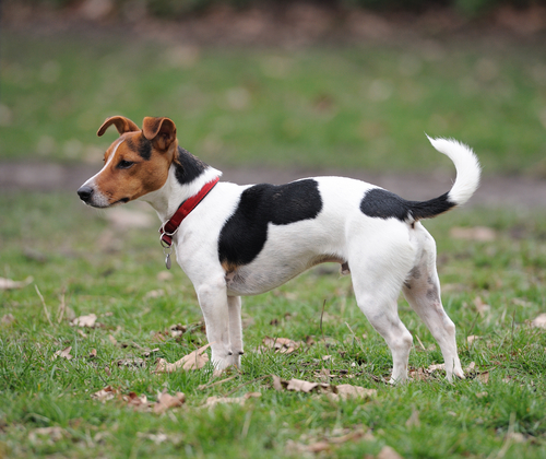 Breed of the Month--Jack Russell Terrier