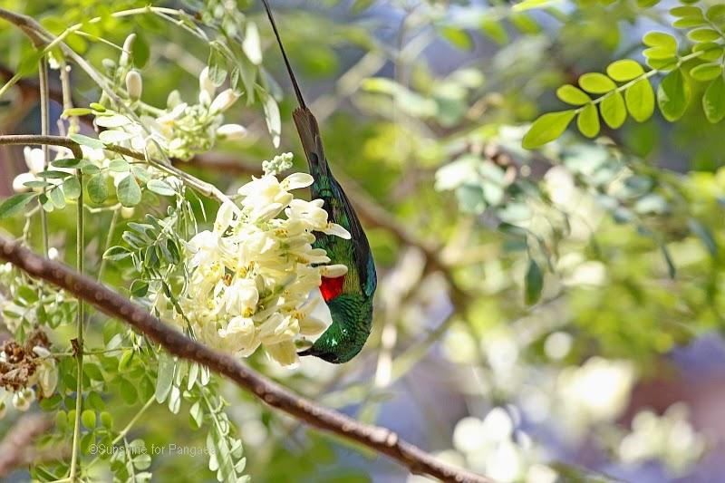 Beautiful Sunbird Cinnyris pulchella in the botanical garden Bakau in Gambia