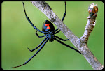 Black Widow Web Designs,LLC