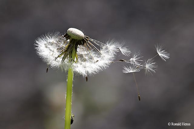 Pusteblume des Löwenzahns, Fallschirme