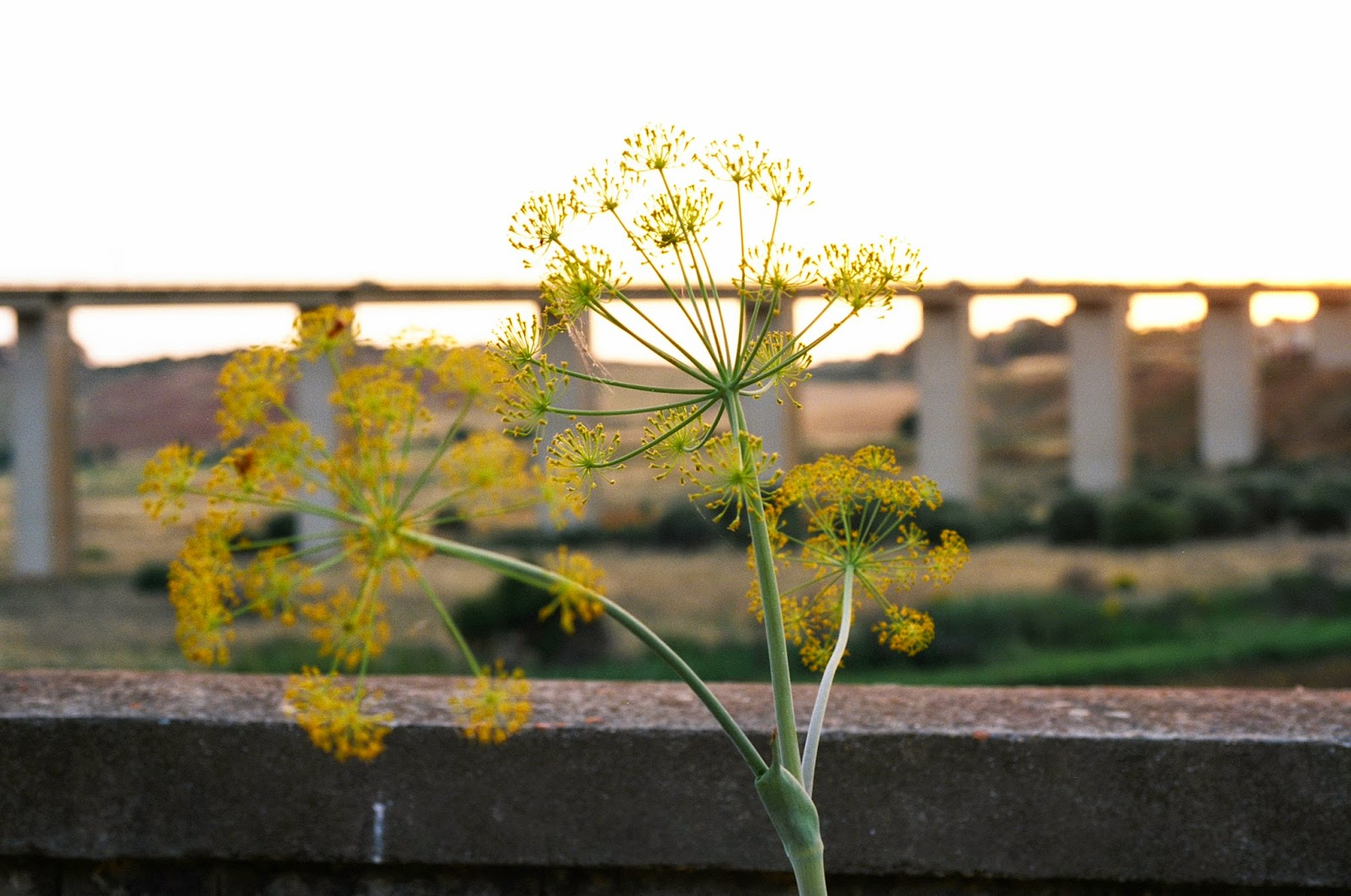 WILD FENNEL, CIVIL ENGINEERING, VIA DUCT, MOTORWAYS, TRAFFIC, CONGESTION, CLIMATE CHANGE, 2015 GENERAL ELECTION, © VAC 100 DAYS 4 MILLION CONVERSATIONS, GREEN PARTY