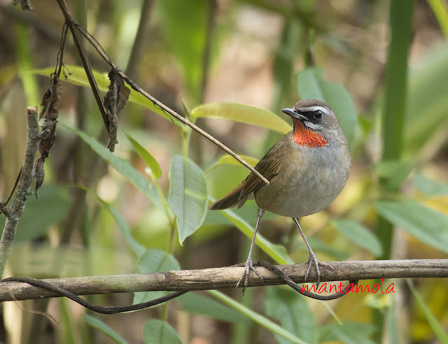 Siberian Ruby Throat (Luscinia calliope)
