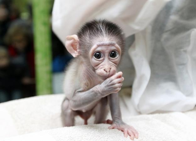 baby monkeys  shy baby...
