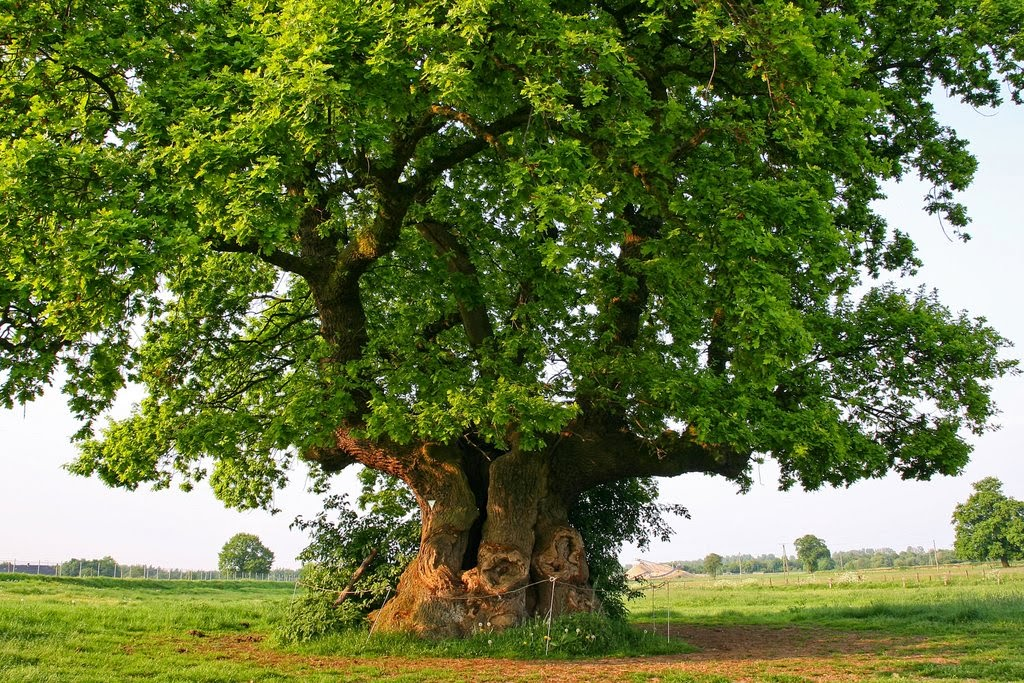 Planting An Oak Tree Best Time : Have you ever wondered why oak trees and groves were considered