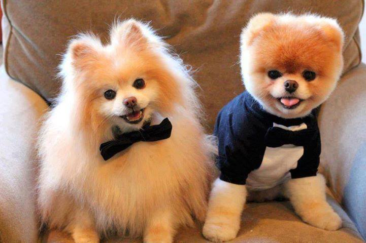 Cute Pomeranian dogs couple