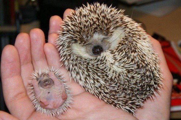 baby animals, cute animals, baby porcupine