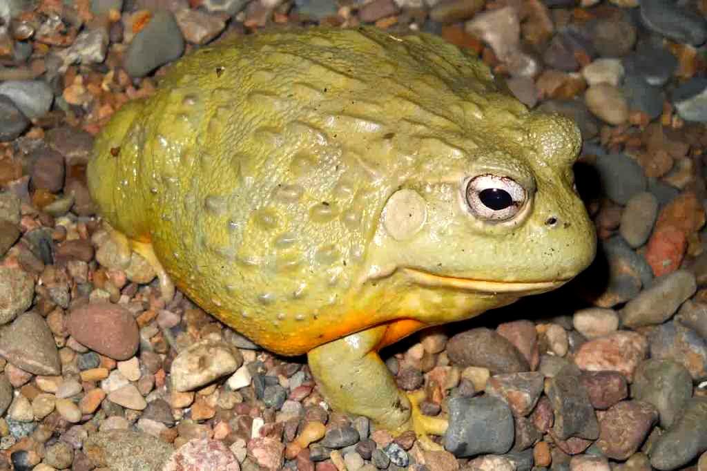katak raksasa african bullfrog dari afrika
