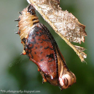 Common Leopard Butterfly Pupa