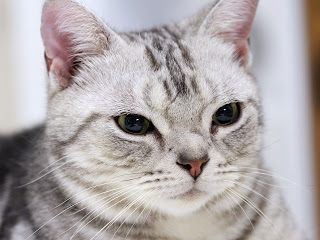 american shorthair cat animal wallpaper cute cats