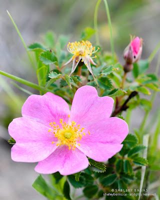 Prairie Rose: flower, bud, spent bloom. photo  © Shelley Banks, all rights reserved