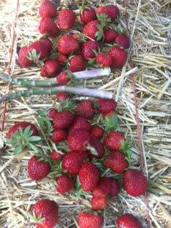 Strawberries & Asparagus 06-07-13