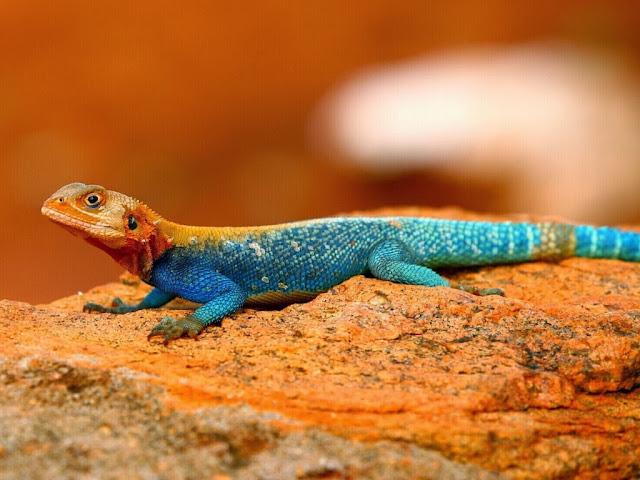 """<img src=""""http://1.bp.blogspot.com/-3wJiCfv8ROQ/UrAUxqyAVTI/AAAAAAAAF08/J6wyspuAnbw/s1600/kytt.jpeg"""" alt=""""Reptiles Animal wallpapers"""" />"""