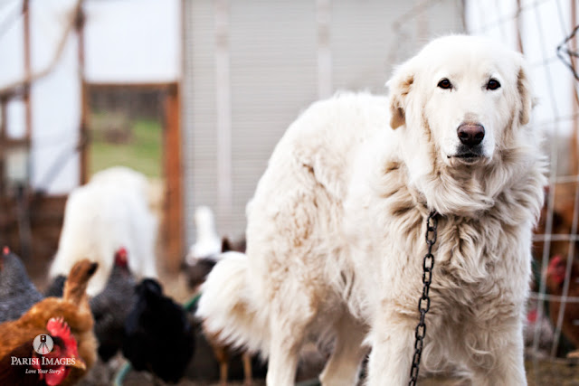 this beautiful life sarah parisi chickens_dogs_maremma_farm_photography_new_york_middle_granville