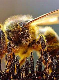 Honeybee foraging Jon Sullivan.