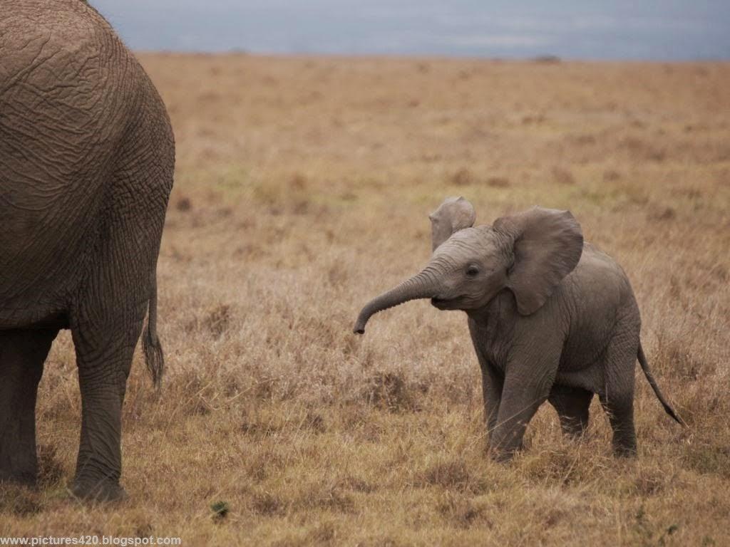 Baby Elephants Cute Elephant Wallpaper Fre...
