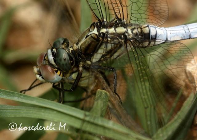 Yusufçuk böcekleri