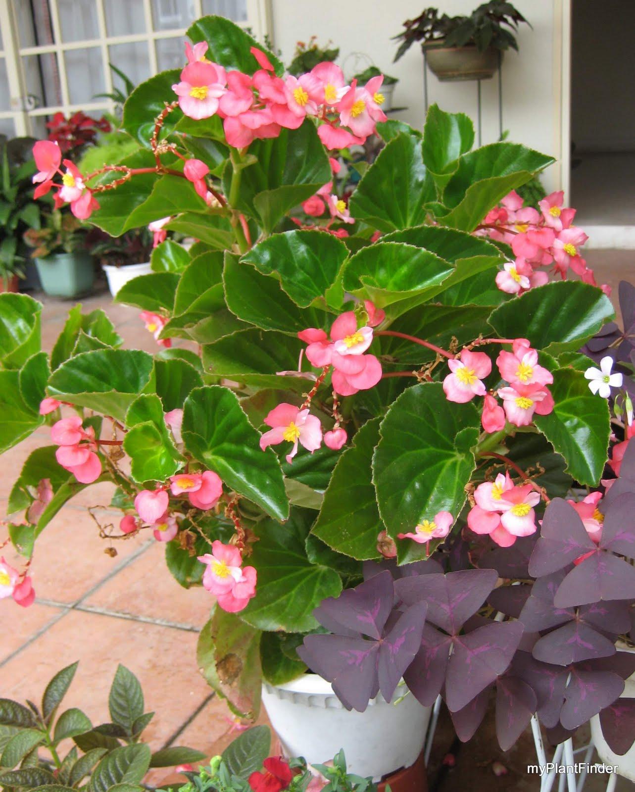 Бегония фото цветок разновидности