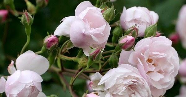 Arte y jardiner a rosales h bridos almizclados for Jardineria rosales