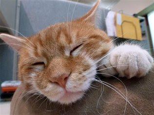 Alasan untuk tidak mencabut kuku kucing