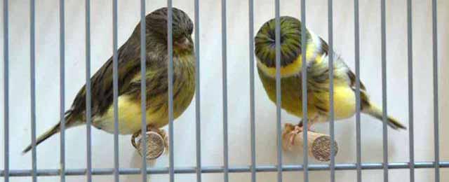 Muy buena pareja de Julían Martin.Fijaos en la calidad de la pluma y buen colorido de fondo.