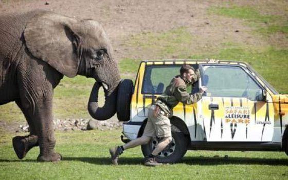 Elefante empurrando carro