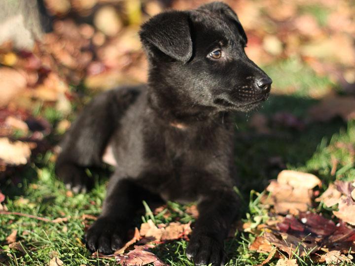 Funny Black Lab Puppies HD wallpaper
