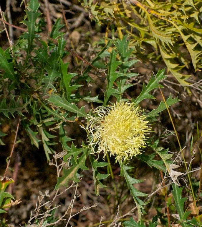Prickly Dryandra (Banksia cf horrida)
