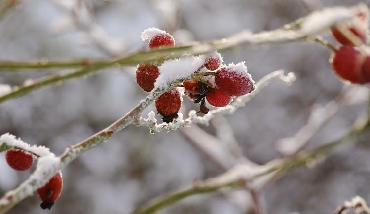 Planlæg haven så den også byder på oplevelser om vinteren ved hjælp af græsser, solide stauder og planter med farverige bær