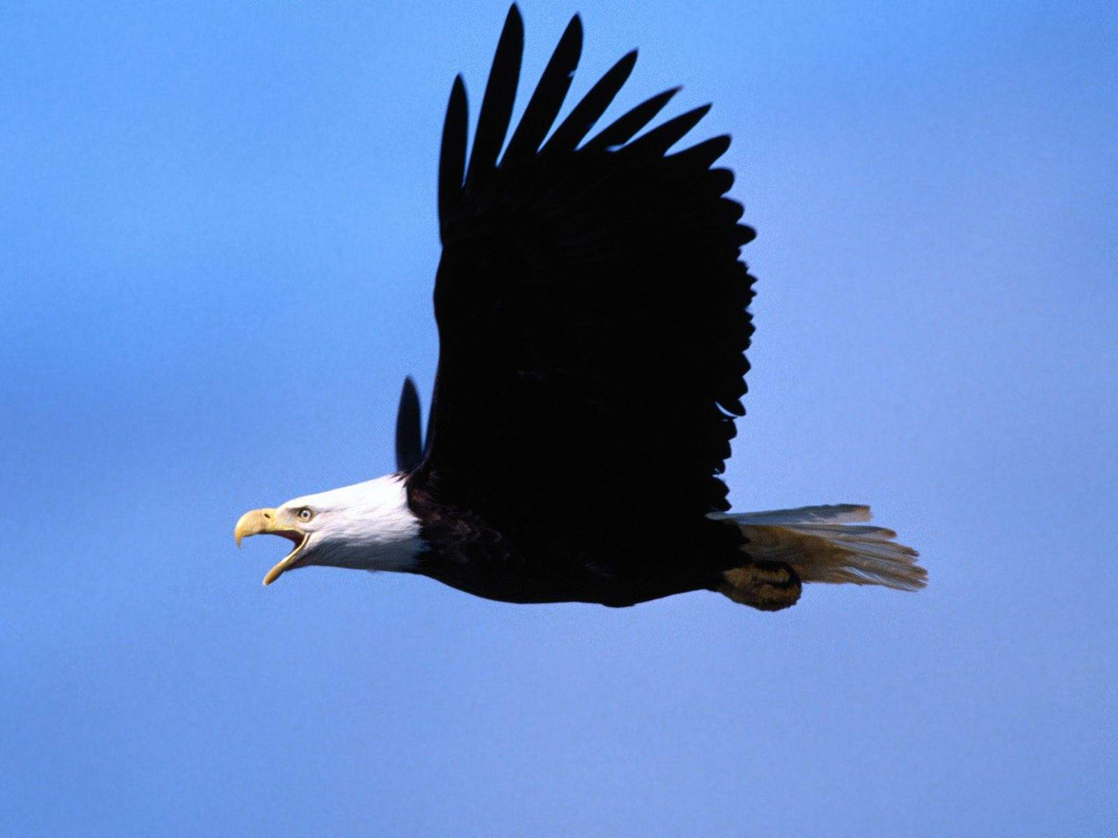 http://1.bp.blogspot.com/-3yE92O7Gr2Q/UHBjzB0IDTI/AAAAAAAAAsI/H-brMyfhwlY/s1600/Call-of-the-Wild-Bald-Eagle-hd-wallpaper-desktop.jpg