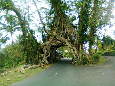unique tree in Bali, Bunut Bolong, Tri Hita Karana, Bali, save environment