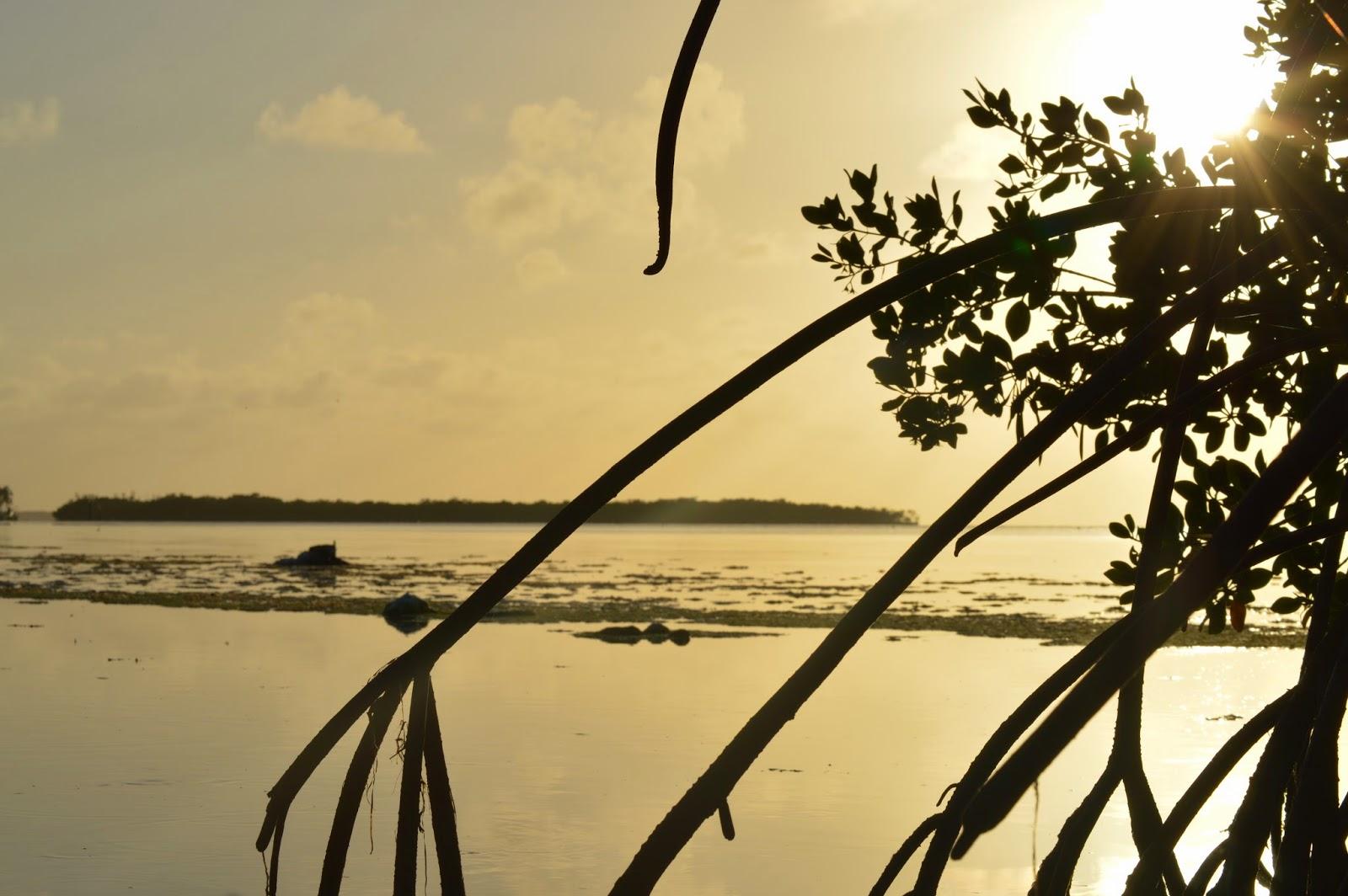 Red mangroves at the Florida Keys