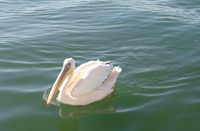 Namibia: dolphin cruise with pelicans & seals in Walvis Bay