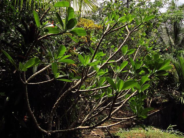 Frangipani or Plumeria obtusa or Chempakam