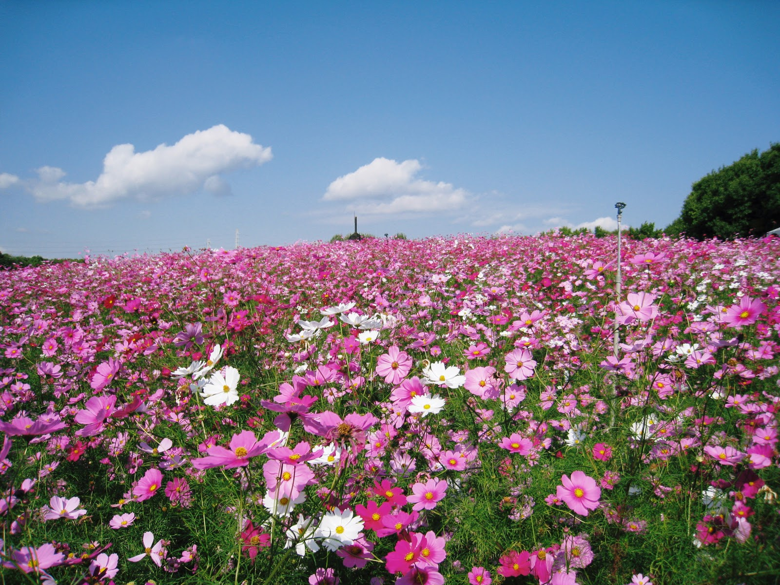Round Of The Seasons In Japan Why Is The Cosmos Flower Called Cosmos