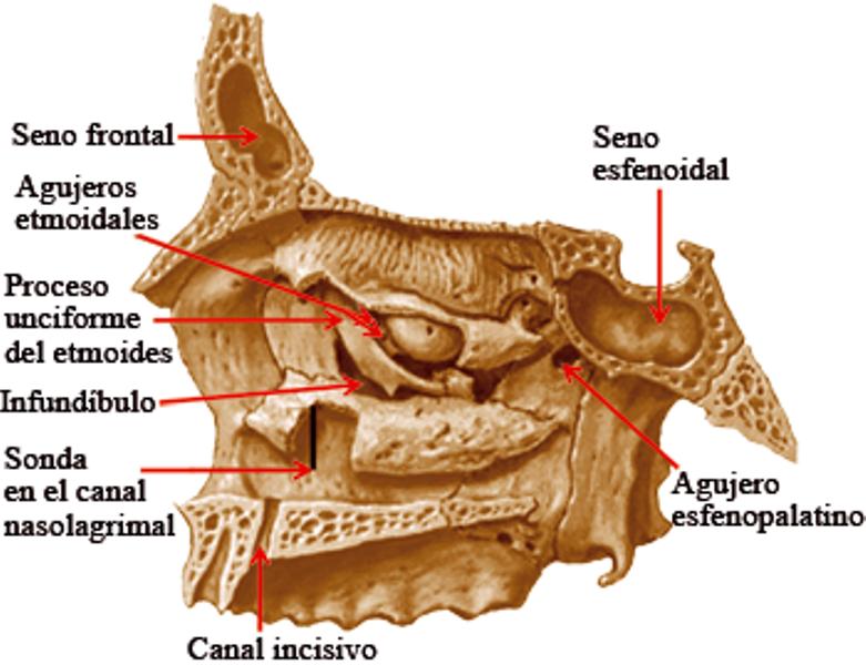 Fosa Nasal [Anatomia] | .