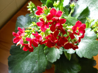 flores rojas de kalanchea blossfeldiana