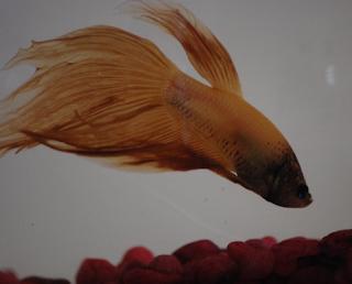 Penyebab ikan cupang aduan menjadi pucat dan cara mengatasinya