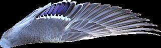 Mallard Wing
