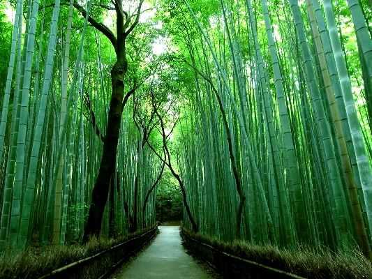 Bamboo Path, Jepang