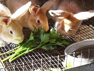 pemberian pakan kelinci