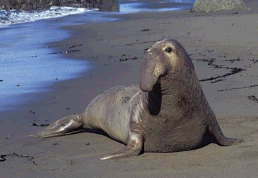 Southern Elephant Seals