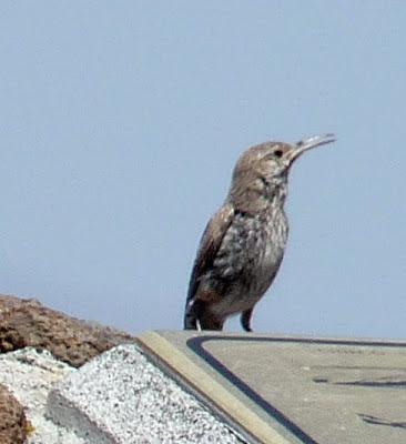 mystery bird - possibly a wren?