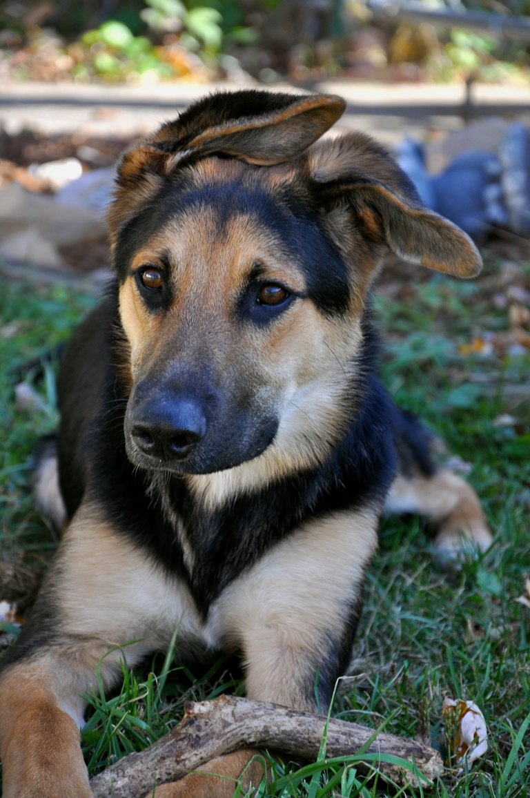Cute Dogs: German Shepherd Lab Mix